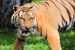 Duży męski tygrys Fotografia Royalty Free