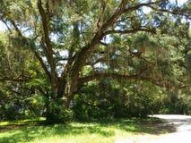 Duży mechaty dębowy drzewo Fotografia Royalty Free