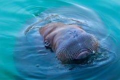 Duży morsa dopłynięcie w błękitne wody Obrazy Royalty Free