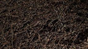 Duży mrówki wzgórze w Europejskim lesie przy ranku światłem Anthill, formicary gniazdeczka struktura robić sosen igły brogować na zdjęcie wideo