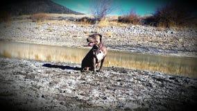 Duży niedźwiadkowy halny pit bull pies Zdjęcia Royalty Free