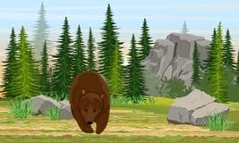 Duży niedźwiedź brunatny w łące ?wierkowy las, kamienie i g?ry, trawa Natura Europa i Ameryka Ursus arctos ilustracja wektor