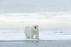 Duży niedźwiedź polarny na dryftowego lodu krawędzi z śniegiem woda w Arktycznym Svalbard Zdjęcie Royalty Free