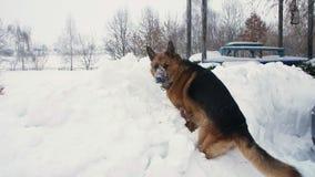 Duży niemiec pies, baca, sztuki i zabawę w wielkim snowdrift jego twarz zakrywa z śniegiem Jest szczęśliwy zbiory wideo