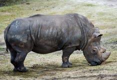 duży nosorożec obrazy stock