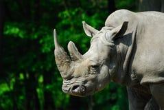 duży nosorożec zdjęcia stock