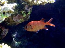 duży oczu rybia czerwień Fotografia Stock