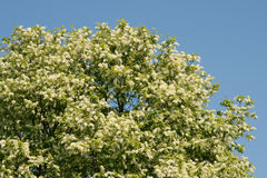 duży okwitnięć colours drzewny biel Fotografia Stock