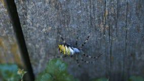 Duży osa pająk zbiory wideo