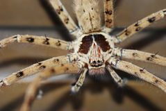 Duży pająk Zdjęcie Stock