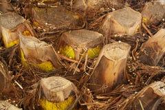 Duży palmowy bagażnik obrazy stock