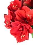 Duży piękny bukiet czerwona Amaryllis Zdjęcia Royalty Free