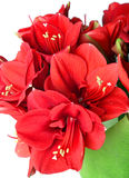 Duży piękny bukiet czerwona Amaryllis Zdjęcie Royalty Free