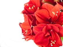 Duży piękny bukiet czerwona Amaryllis Fotografia Royalty Free