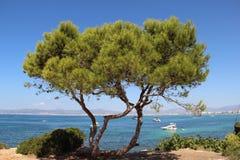 Duży piękny drzewo przed morzem w Hiszpania Zdjęcia Stock