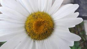Duży piękny kwiat z w połowie kolorem żółtym obrazy royalty free