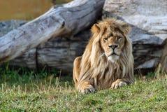 Duży piękny lew Fotografia Stock