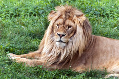 Duży piękny lew Obrazy Royalty Free