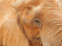 Duży Piękny słoń Fotografia Royalty Free