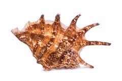 Duży piękny seashell odizolowywający na białym tle Zdjęcia Stock