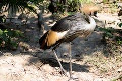 Duży piękny Siwieje Koronowanego Dźwigowego ptaka fotografia stock