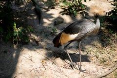 Duży piękny Siwieje Koronowanego Dźwigowego ptaka zdjęcia royalty free