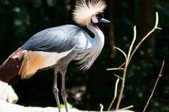 Duży piękny Siwieje Koronowanego Dźwigowego ptaka zdjęcie stock