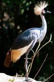 Duży piękny Siwieje Koronowanego Dźwigowego ptaka zdjęcia stock