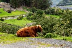 Duży piżmo wół w swój siedlisku, Naturalny krajobraz na tle zdjęcie stock