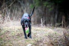 Duży pies, długi jęzor Obraz Royalty Free