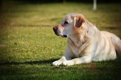 Duży pies kłama na trawie Fotografia Stock