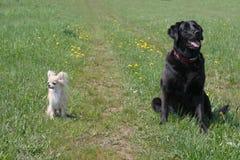 duży pies mały Fotografia Royalty Free