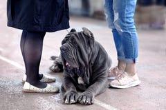Duży pies Neapolitan mastifa traken, stara szkoła ucho cięcie, kłaść między dwa parami kobiety iść na piechotę zdjęcia royalty free