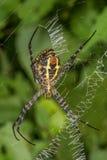 Duży podpisu pająk fotografia royalty free