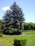 Duży pojedynczy jedlinowy drzewo Obrazy Royalty Free
