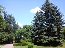 Duży pojedynczy jedlinowy drzewo Zdjęcie Royalty Free