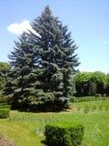 Duży pojedynczy jedlinowy drzewo Fotografia Royalty Free