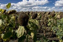 Duży pole słoneczniki w jesieni zdjęcie royalty free