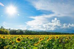 Duży pole Złociści słoneczniki pod Jaskrawym niebieskim niebem i słońcem Obraz Royalty Free