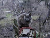 Duży popielaty kot z żółtymi oczami Zdjęcia Royalty Free