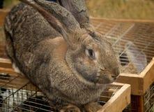 Duży popielaty królik sprzedawał przy jarmarkiem. Zdjęcia Stock