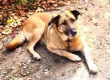 Duży przybłąkany pies kłaść na jesieni ziemi Zdjęcia Royalty Free