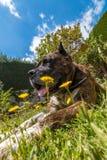 Duży psi kłaść na trawie Zdjęcia Royalty Free