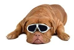 duży psi szkła Obraz Royalty Free
