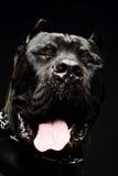 Duży psi włoski trzciny corso Obraz Royalty Free