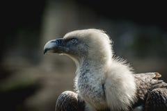 Duży ptasi gryfonu sęp Zdjęcia Royalty Free
