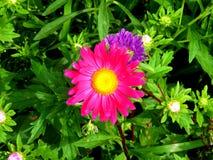 Duży purpura kwiat na tle zieleń opuszcza zbliżenie fotografia royalty free