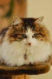 Duży puszysty kota odpoczywać Obrazy Royalty Free