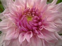 Duży różowy dalia kwiat Fotografia Royalty Free