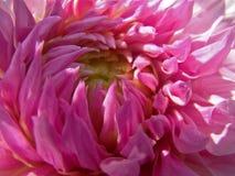 Duży różowy dalia kwiat Obrazy Royalty Free